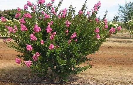 Deciduous Flowering Shrubs