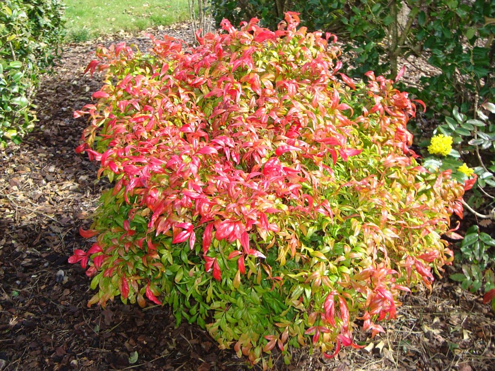 Plants | Landscaping and Pool Maintenance in Belleville ... Nandina Domestica Firepower