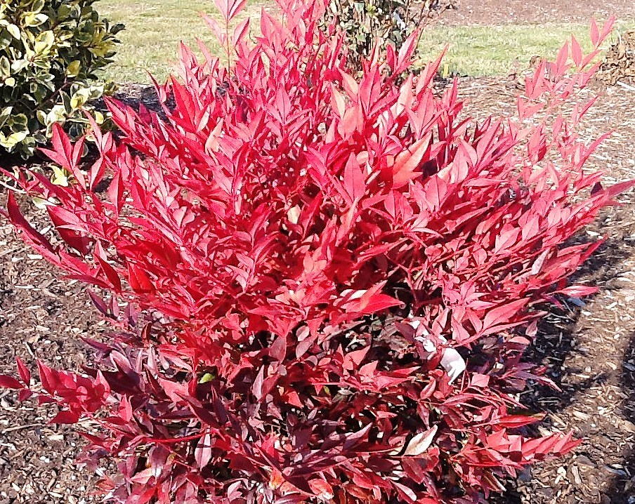Nandina_Tuscan_Flame Red Broadleaf Houseplants on flowers red, berries red, cactus red, ornamental grasses red, animals red, pots red, design red, peppers red, nature red, mums red, orchids red,